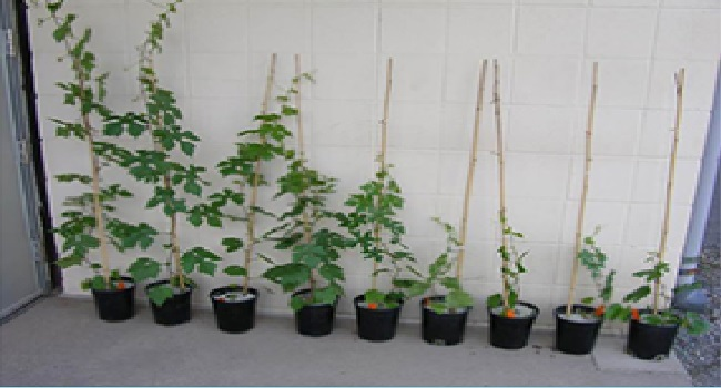 Variation in grapevine plant architecture caused by modifications of genes controlling plant height.